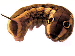 Résultats de recherche d'images pour «larve fotolia»