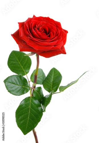 Die perfekte Rose Stockfotos und lizenzfreie Bilder auf Fotoliacom  Bild 38198525