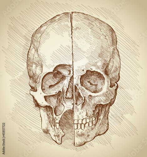 skull section based on