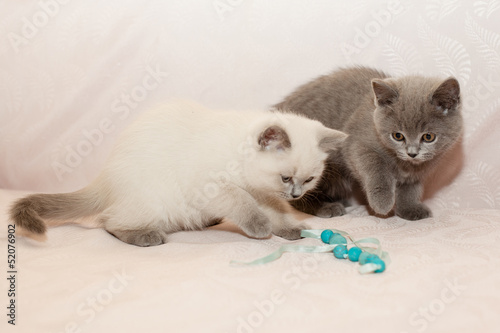 white and grey kittens