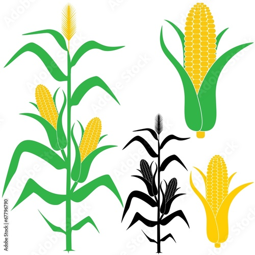 corn stock image and