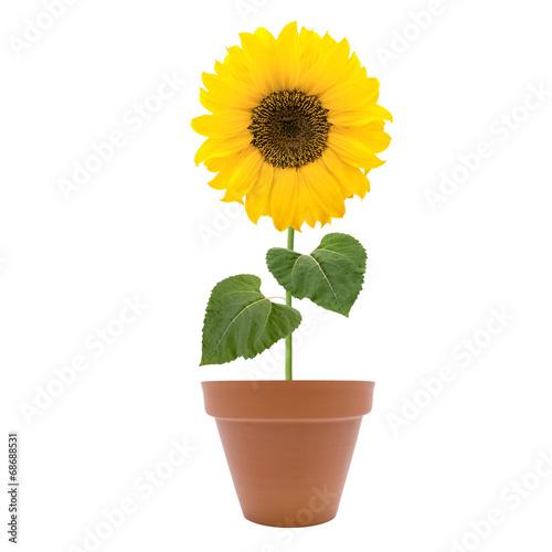 Sonnenblume im Topf Stockfotos und lizenzfreie Bilder