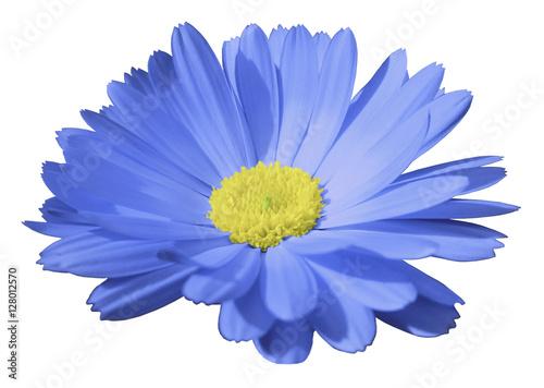 blue flower calendula the