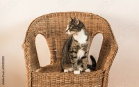 """Tabby gray cat sitting alert on old rickety wicker chair ..."