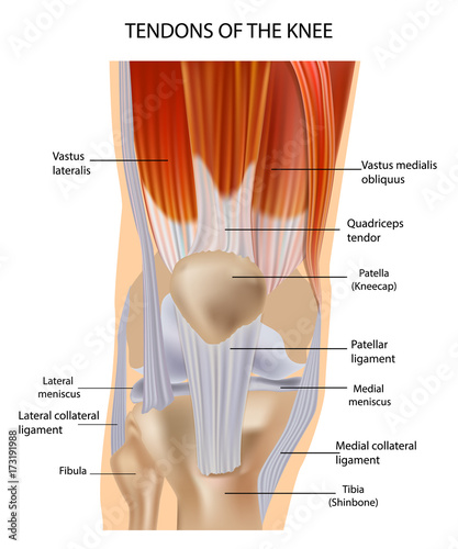front leg ligament diagram ford puma fuel pump wiring tendons at the of knee anatomy stock image and