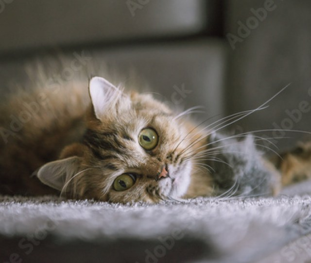 Cute Tiger Persian Cat Sleeps On Fur Black And Grey Blanket Cozy Home Background With