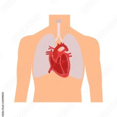Human Heart And Lungs Diagram 05 Ford F150 Stereo Wiring Internal Organs In A Male Body Anatomy Of People Part The Diastole Systole Filling Pumping
