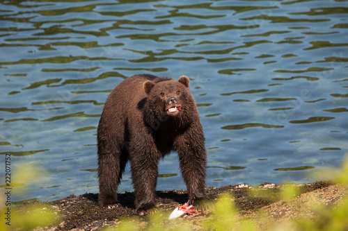 isolated brown grizzly bear