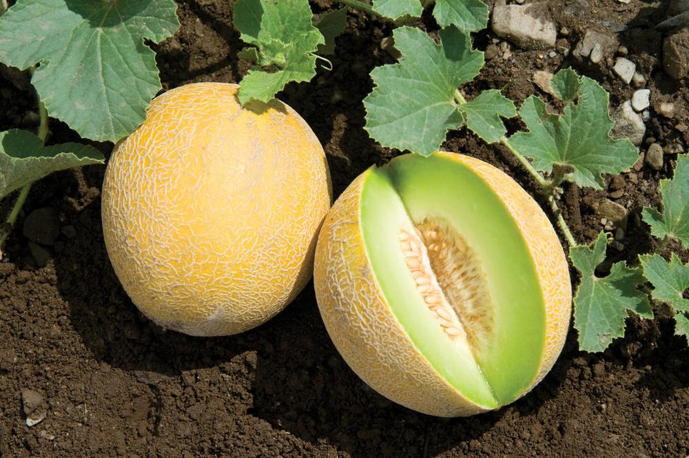 Inilah Cara Budidaya Melon yang Mudah dan Praktis