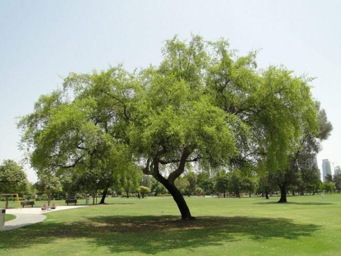 Gambar Pohon Bidara arab