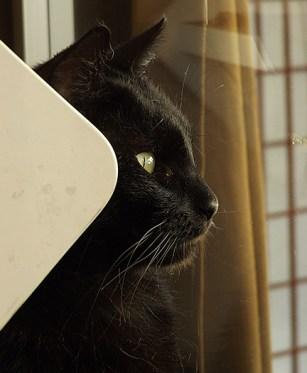 Black cat2-Cat Cafe