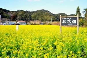 和田浦の花畑