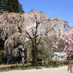 薬師堂のしだれ桜