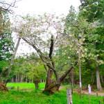 大鹿桜(磐椅神社)