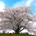 為内の一本桜
