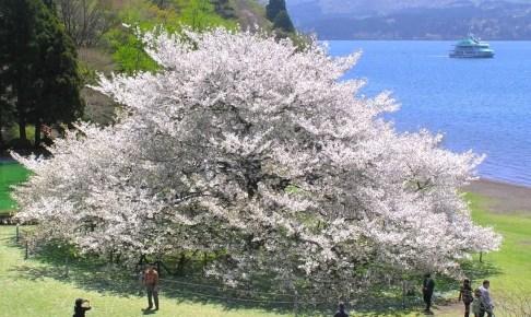 箱根園・湖畔の一本桜
