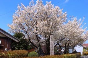 石薬師の蒲桜