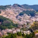 吉水神社・一目千本の桜