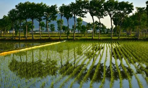 夏井のハザ木並木