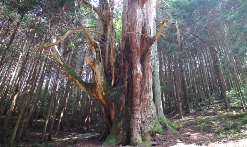 河内の大杉