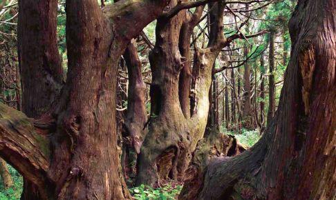 幻想の森(土湯杉群生地)