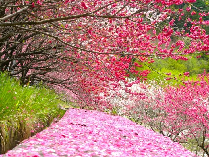 月川温泉郷・花桃の里『花桃まつり』