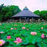 千葉公園 古代ハス(大賀蓮)