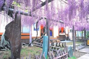 池田熊野の長藤まつり