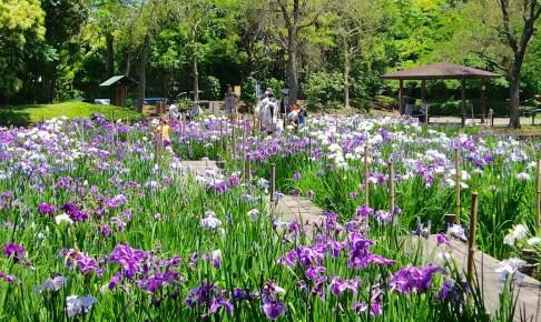 香澄公園 花菖蒲