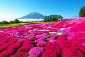 三島さんの芝ざくら庭園|倶知安町