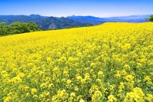菜の花フェスタin三ノ倉高原花畑