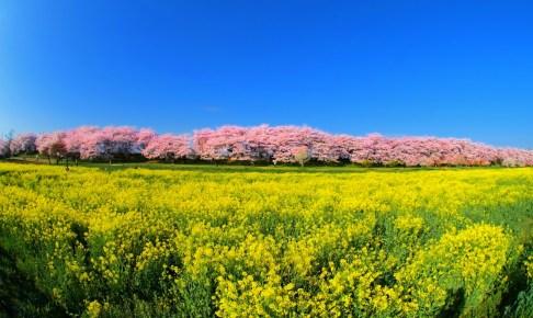 幸手桜まつり