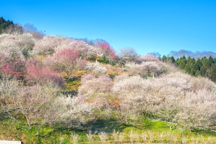 津山市神代梅の里公園 梅まつり