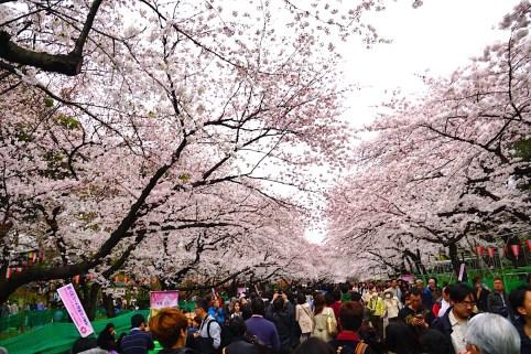 上野公園・桜