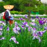 横須賀しょうぶ園『花しょうぶまつり』