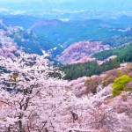 吉野山『桜まつり・桜ライトアップ』
