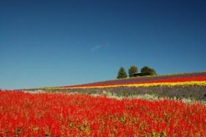 北海道ラベンダー畑