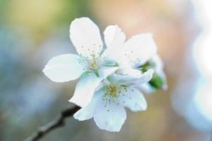 冬桜・十月桜