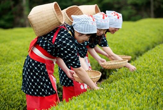 蔵屋鳴沢茶摘み体験