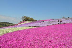 東京ドイツ村芝桜