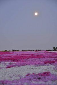 松本ツツジ園芝桜