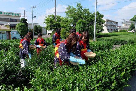 宮野園茶摘み体験