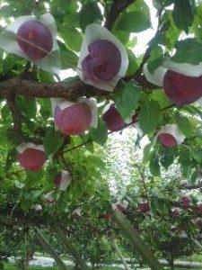 米山しげのぶ農園桃