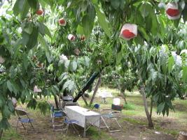 滝島フルーツ園桃