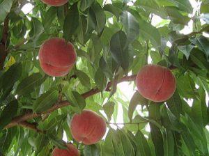 いいじまフルーツ観光園桃