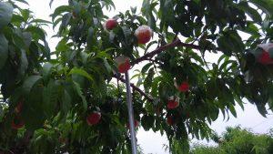 萩原フルーツ農園桃