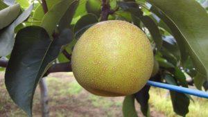 梨の七郎園