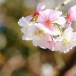 十月桜・冬桜