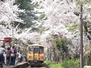 芦野公園桜