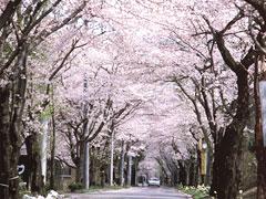 太平山県立自然公園桜